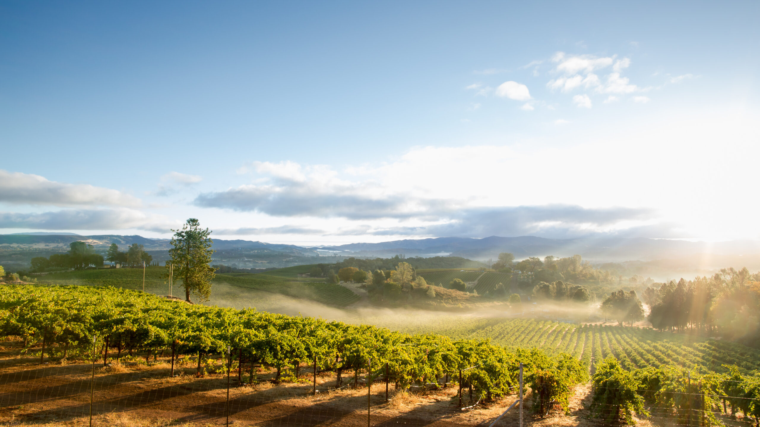 vinogradnik-colifornia-wineyard